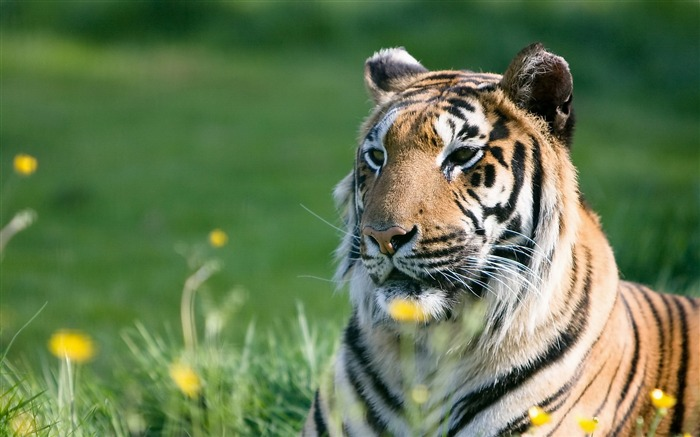 tiger predator grass-Photo HD Wallpaper Views:1559