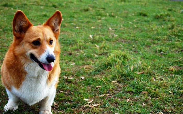 welsh corgi dog grass-Photo HD Wallpaper Views:3042