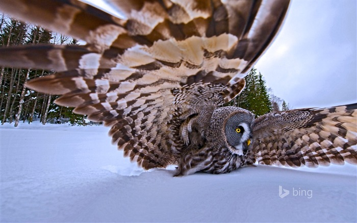 A great gray owl on the hunt-November 2015 Bing Wallpaper Views:2429