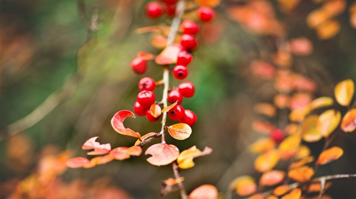 Berries red branch autumn-High Quality HD Wallpaper Views:1362