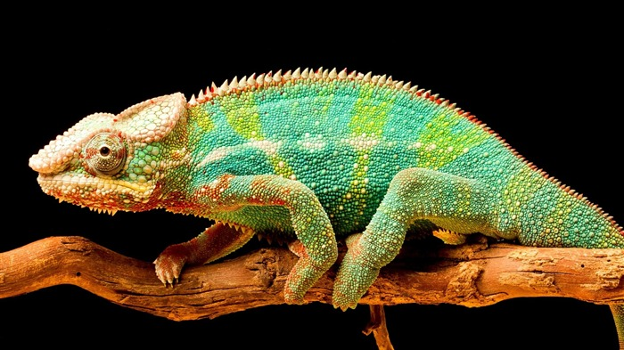Chameleon color tail-High Quality HD Wallpaper Views:1170