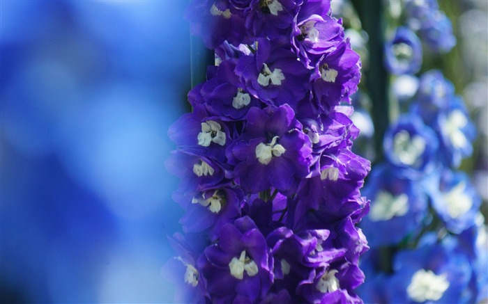 Delphinium flowers focus-High Quality Wallpapers Views:2389