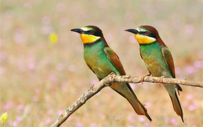 Golden bee eater bird-High Quality Wallpaper Views:1779