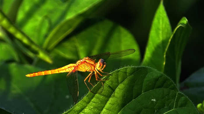 Summer animal dragonfly desktop wallpaper Views:3806