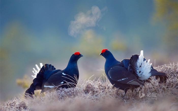 Sweden Berry Tesla root male black grouse-November 2015 Bing Wallpaper Views:2414
