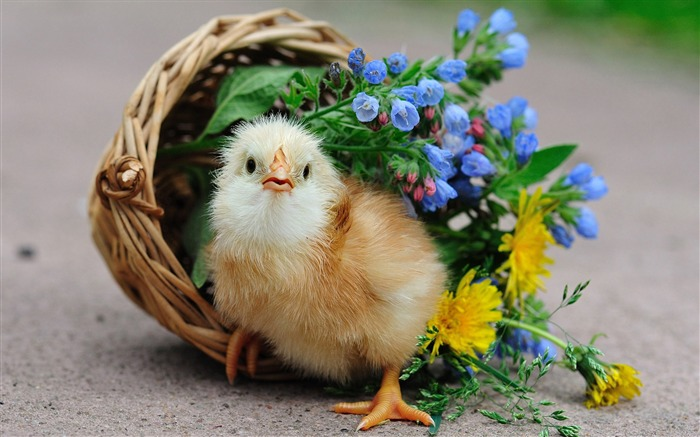 Title:little chick basket flowers-Photography HD wallpaper Views:2495