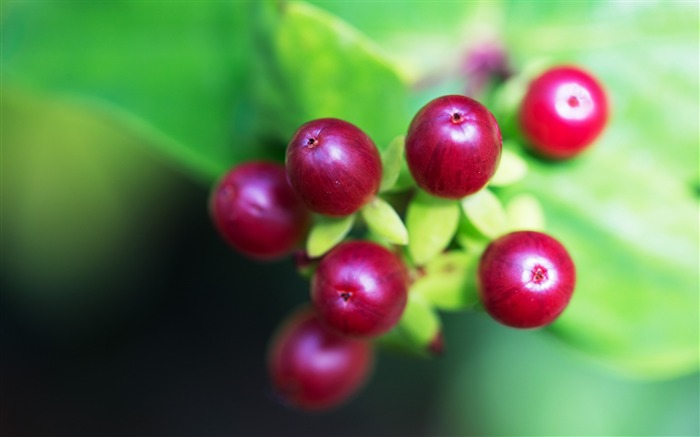 Berry branch close up-High Quality HD Wallpaper Views:1445
