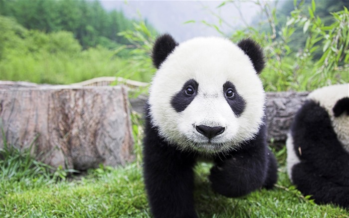 Cute Chinese panda photography HD wallpaper Views:7222