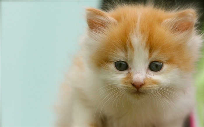 Kitten spotted look-Animal Photo HD Wallpaper Views:1860