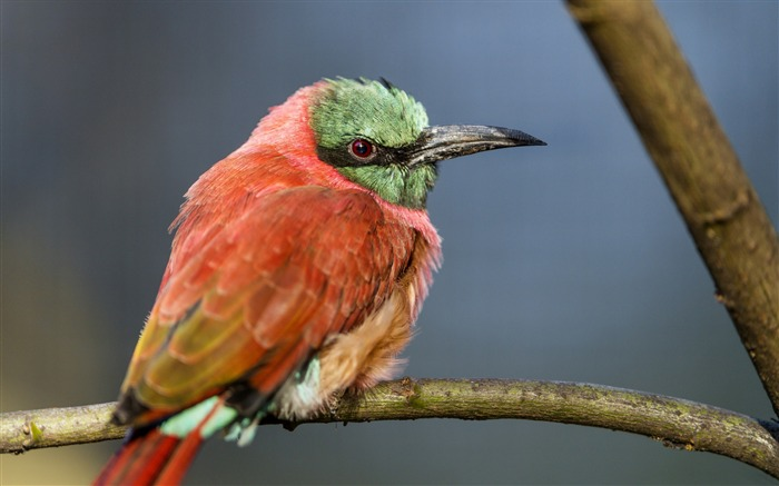 Perched bee eater-Animal Photo HD Wallpaper Views:2098