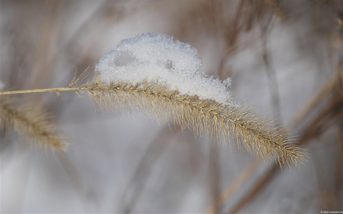 Snow-covered golden wheat-Windows 10 HD Wallpaper Views:1939