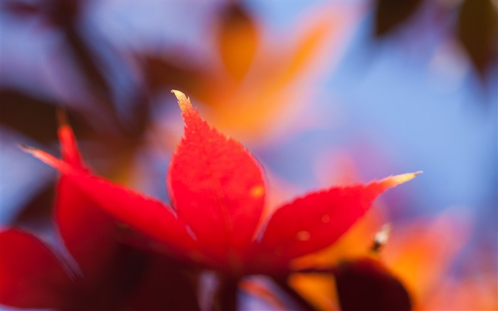Autumn leaf maple orange bright-photography HD wallpaper Views:1994