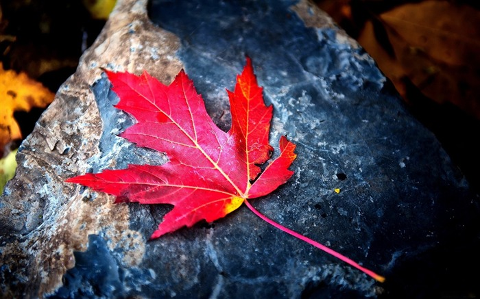 Autumn red leaf stone-photography HD wallpaper Views:1851