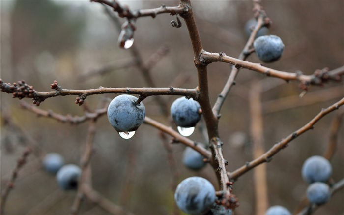 Blackthorn berries branches drops-High Quality HD Wallpaper Views:3331