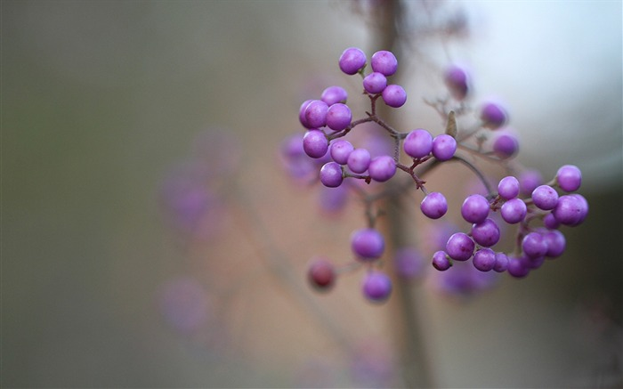 Callicarpa berry lilac macro-photography HD wallpaper Views:1873