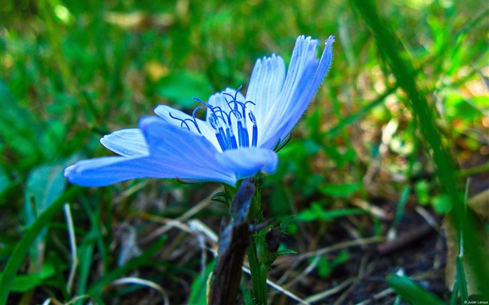 Chicory flowers-Windows 10 Theme HD Wallpaper Views:2417