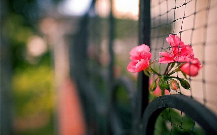 Close-up fence flowers-photography HD wallpaper Views:1947
