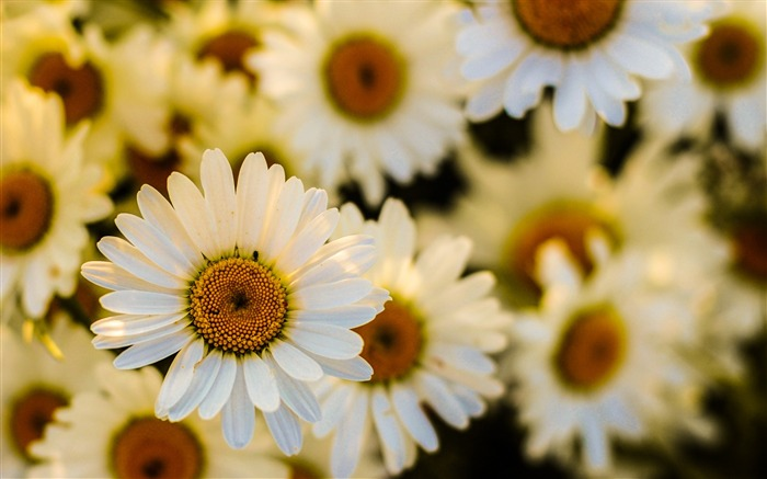 Daisies flowers petals-High Quality HD Wallpaper Views:1641