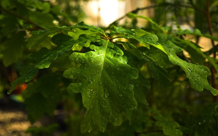 Drops forest nature leaves-photography HD wallpaper Views:1717