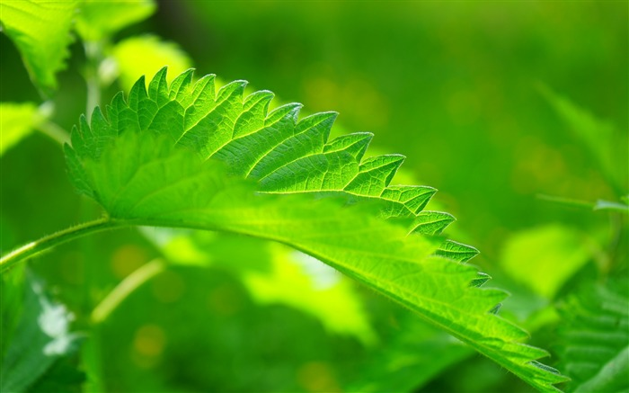 Green nettle leaf close up-High Quality HD Wallpaper Views:1198