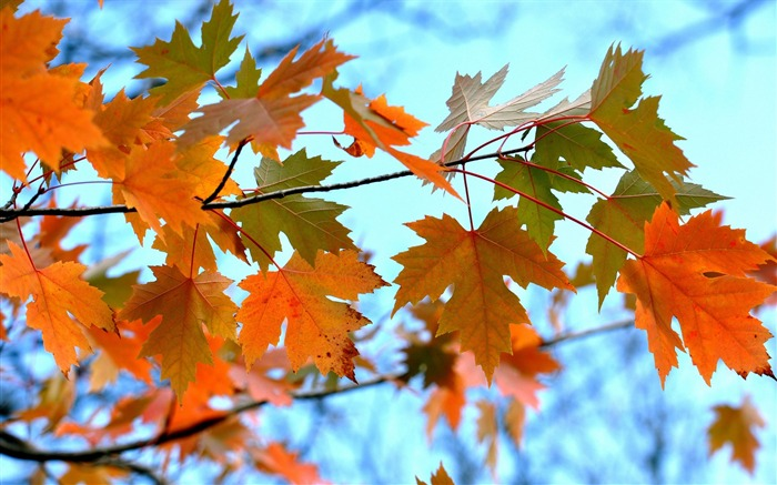 Maple Leaves Branches-High Quality HD Wallpaper Views:1609