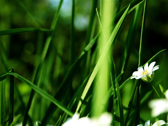Nature Green Grass White Flowers-Photo HDR Wallpaper Views:1850