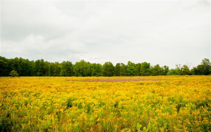 Yellow Scenery Flowers Field-Photo HDR Wallpaper Views:1084