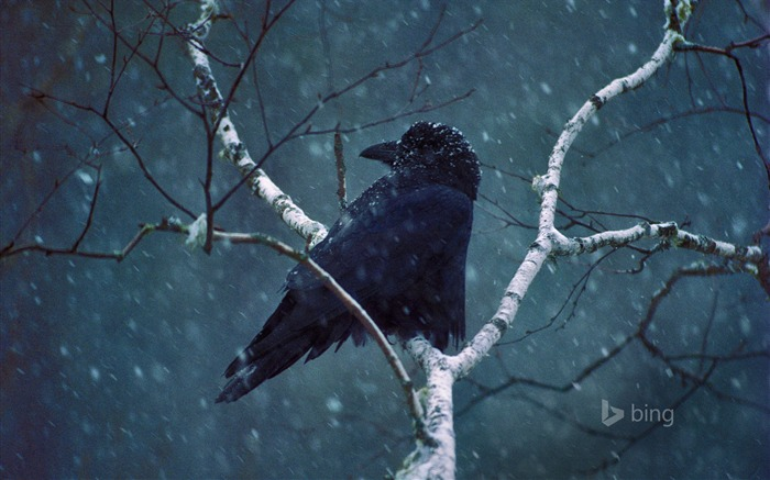 A common raven-2016 Bing Desktop Wallpaper Views:1877