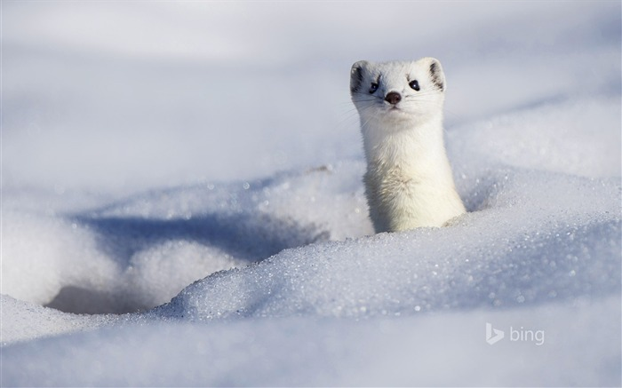 A stoat displaying its winter coat-2016 Bing Desktop Wallpaper Views:2643