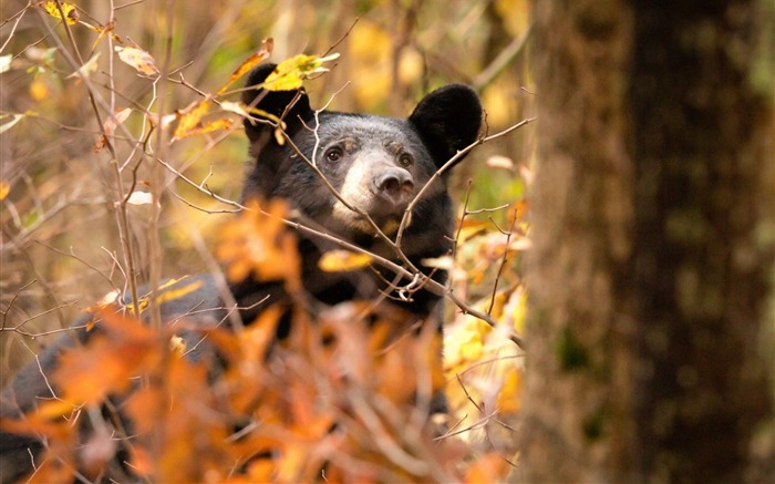 Bear Nature Autumn Forest-Animal World HD Wallpaper Views:1584