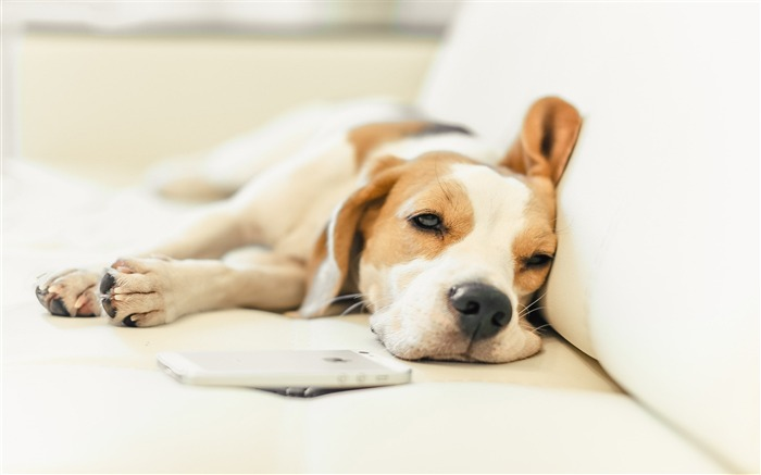 Bed Beagle Dog-Animal World HD Wallpaper Views:1796