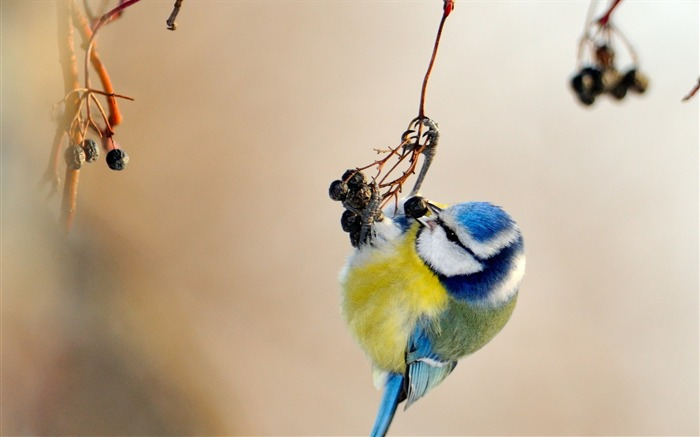 Bird titmouse branch spotted-Animal Photo HD Wallpaper Views:2032