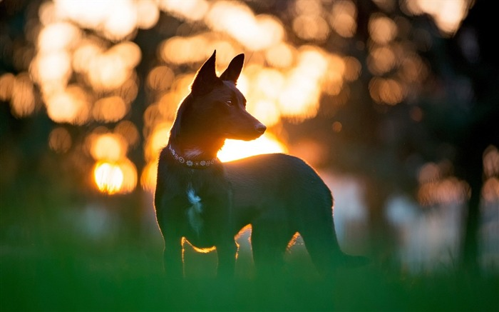 Dog Nature Bokeh-Animal World HD Wallpaper Views:1529