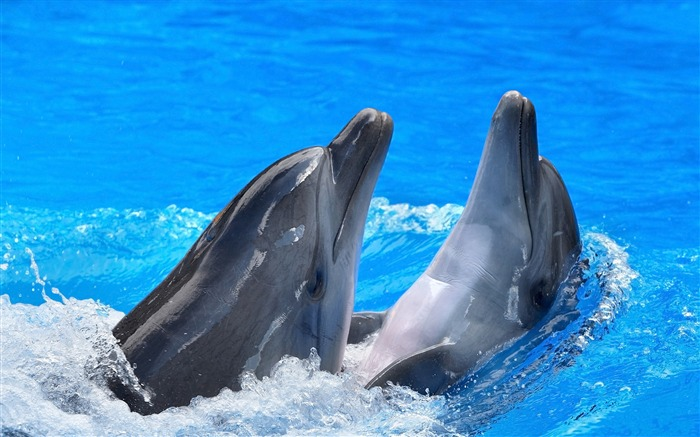 Dolphins steam water spray-Animal Photo HD Wallpaper Views:2112