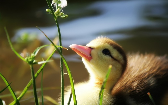Duckling twigs grass baby-Animal Photo HD Wallpaper Views:1770