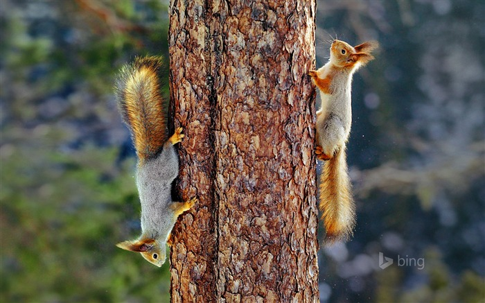 Eurasian red squirrels in Finland-2016 Bing Desktop Wallpaper Views:1934