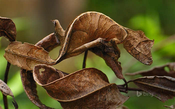 Fantastic Gecko Madagascar -2016 Bing Desktop Wallpaper Views:2169