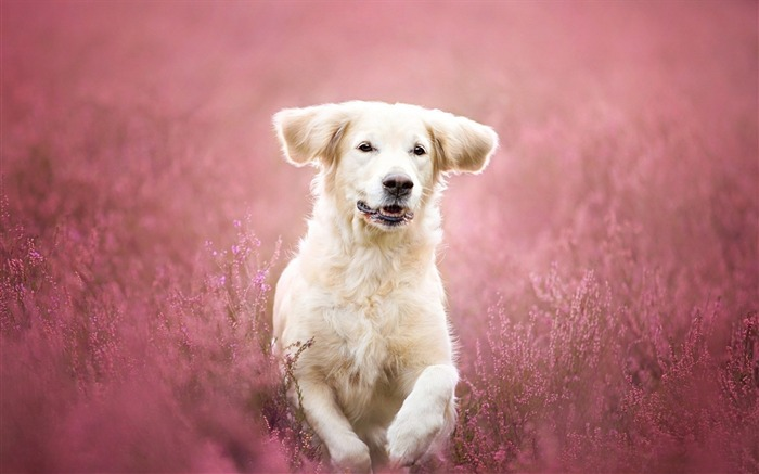 Flowers Mood Field Dog-Animal World HD Wallpaper Views:2031