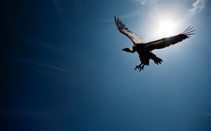 Flying Wings Vulture Bird-Animal World HD Wallpaper Views:1252