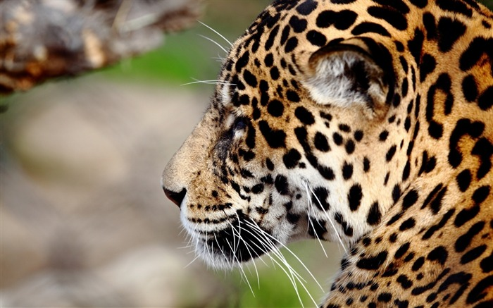 Jaguar predator wildcat-Animal World HD Wallpaper Views:1605