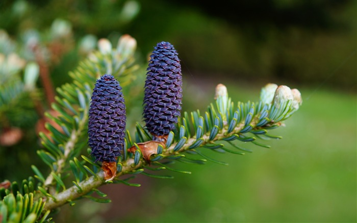 Needles cones branch needles-High Quality HD Wallpaper Views:2072