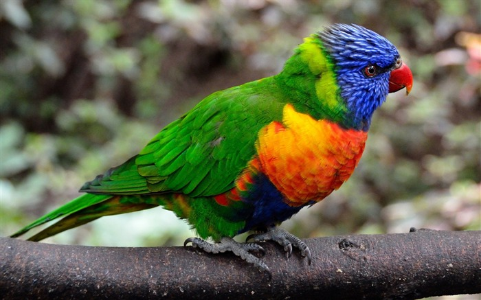 Parrot bird colorful-Animal World HD Wallpaper Views:949