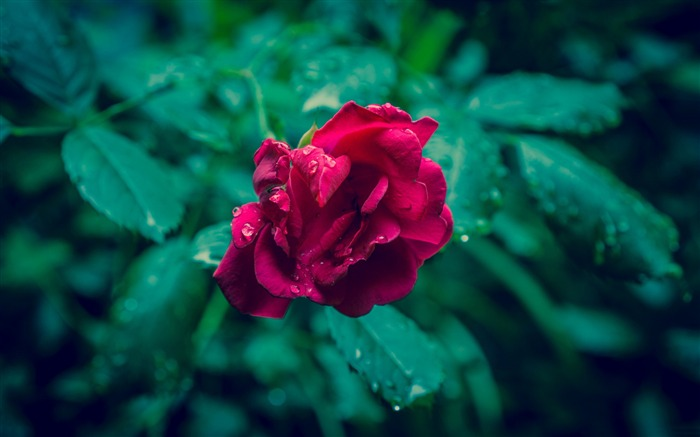 Red rose and green leaves-Flowers Photo HD Wallpaper Views:2089