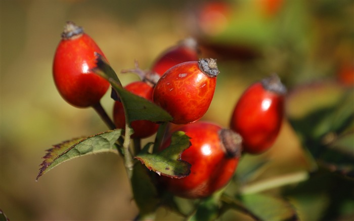 Rosehip fruits berries-High Quality HD Wallpaper Views:1400