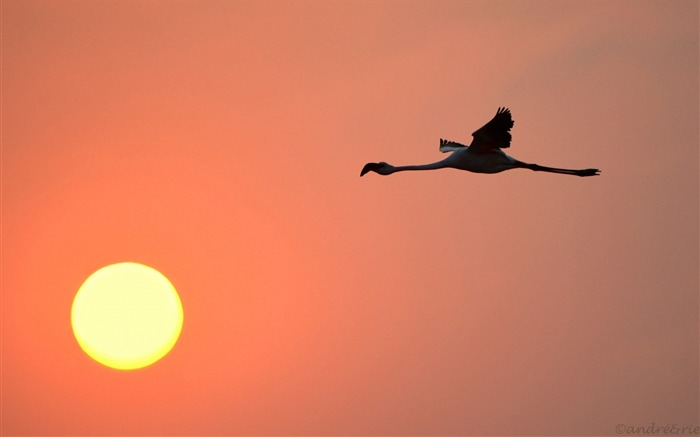 Sunset Flamingo Bird Sky Sun-Animal World HD Wallpaper Views:729