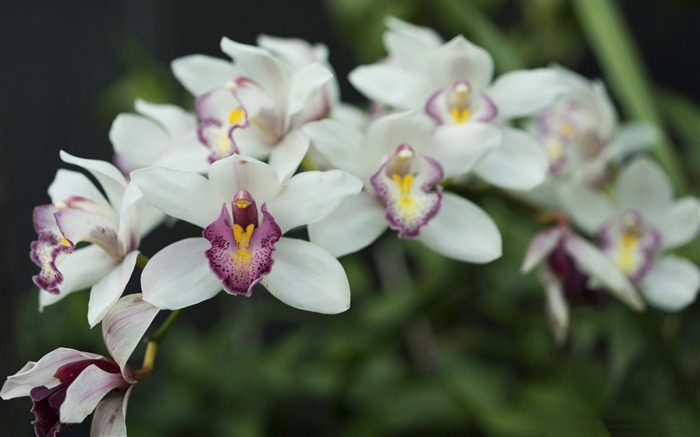 White orchid-Flowers Photo HD Wallpaper Views:1416