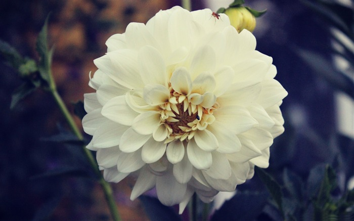 White rose nature-Flowers Photo HD Wallpaper Views:1982