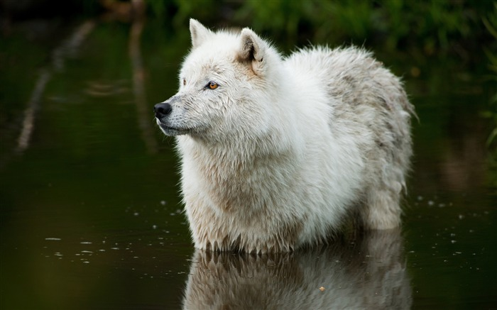 White wolf predator water-Animal World HD Wallpaper Views:3485