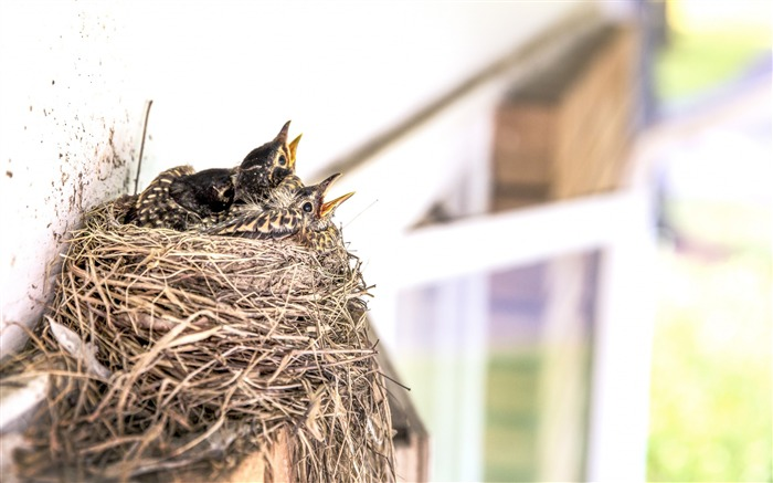 Birds chicks nest beak-High Quality HD Wallpaper Views:2017