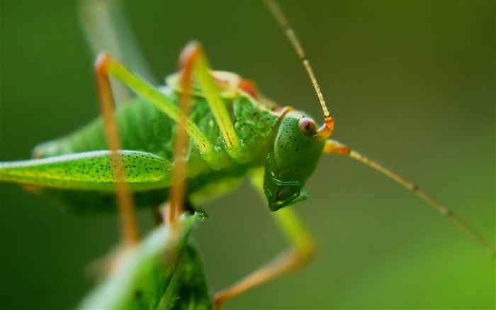 Grasshopper insect macro-High Quality HD Wallpaper Views:1427